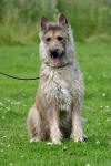 Picture of Belgian-Shepherd-Dog-(Laeke) Dog