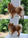 Picture of German Spitz Dog